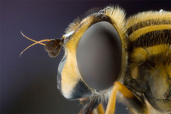European hoverfly