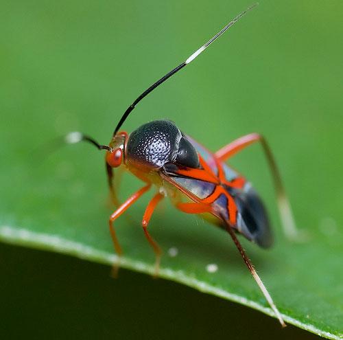 Malaysia Bug